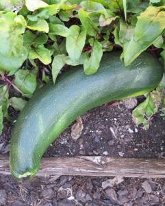 Zucchini in our garden